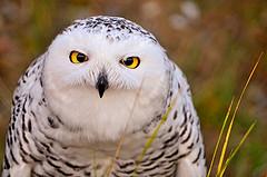 angry-owl